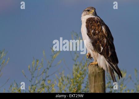 Juvenile ferringinous hawk in Grasslands National Park; Saskatchewan, Canada - Stock Photo