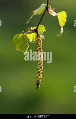 Young shoot,blossom,Blueten,Junger Trieb,Betula pubescens - Stock Photo