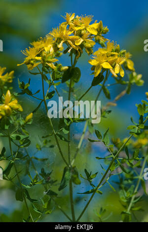 Knospe,Bud,Trieb,Triebspitze,Shoot,Young Shoot,Bluete,Blossom,Bloom,Hypericum perforatum,Gemeines Johanniskraut - Stock Photo