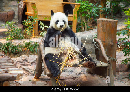 Giant panda bear eating bamboo in Chiang Mai Zoo, Thailand - Stock Photo