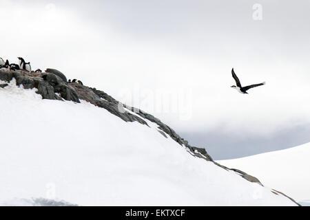 Imperial Shag AKA Antarctic Shag (Phalacrocorax atriceps) flies over a colony of Gentoo penguins (Pygoscelis papua). - Stock Photo