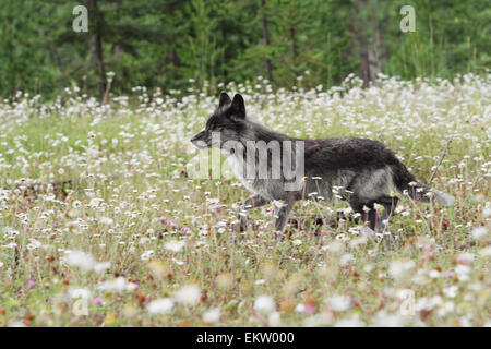 An alert gray wolf in a field of wildflowers;Golden british columbia canada - Stock Photo