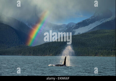 COMPOSITE: Male Orca whale surfaces in Lynn Canal with a rainbow and spring rain shower in the background, Southeast - Stock Photo