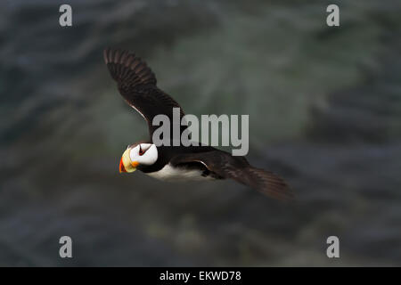Horned Puffin,Bristol Bay,Alaska,USA - Stock Photo
