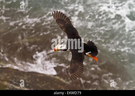 USA,Alaska,Horned Puffin,Bristol Bay - Stock Photo