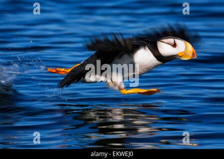Horned puffin (Fratercula corniculata) taking off, Kodiak, Alaska, summer - Stock Photo