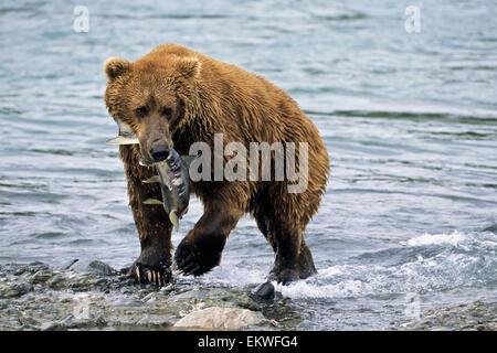USA,Alaska,Brown Bear,Chum Salmon - Stock Photo