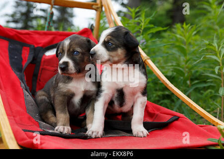 Alaskan Husky sled dog puppies sit in sled outdoors, Southcentral Alaska, Summer - Stock Photo