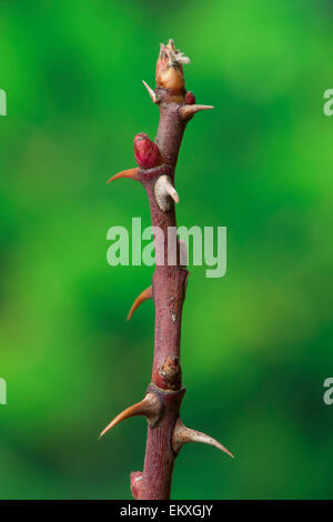 Knospe,Bud,Trieb,Triebspitze,Shoot,Young Shoot,Bluete,Blossom,Bloom,Rosa canina,Hunds-Rose,Dog Rose,Haggebutt,Wild - Stock Photo