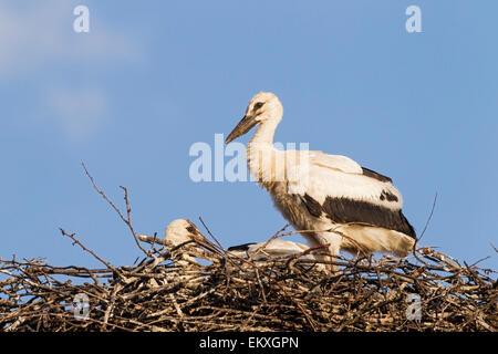white stork (Ciconia ciconia), juvenile birds in the nest,  Bulgaria, Europe - Stock Photo