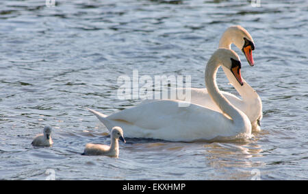 couple of white swans and young cygnets - Stock Photo