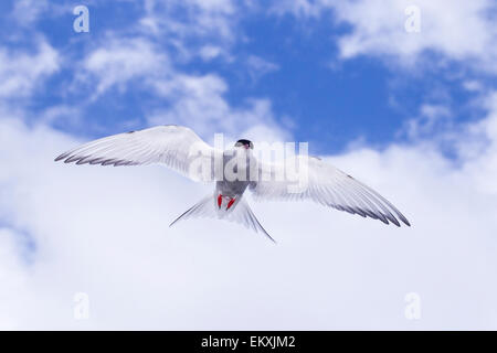 Arctic tern (Sterna paadisaea) adult in flight hovering against blue sky, Farne Isles, Northumberland, England - Stock Photo