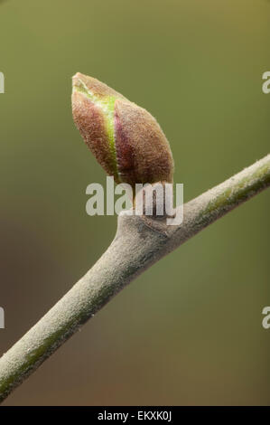 Knospe,Bud,Trieb,Triebspitze,Shoot,Young Shoot,Bluete,Blossom,Bloom,Tilia platyphyllos,Sommer-Linde,Large-Leaved - Stock Photo