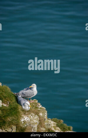 A pair of European herring gulls on a grassy cliff with blue sea ocean behind. Vertical format with copyspace. - Stock Photo