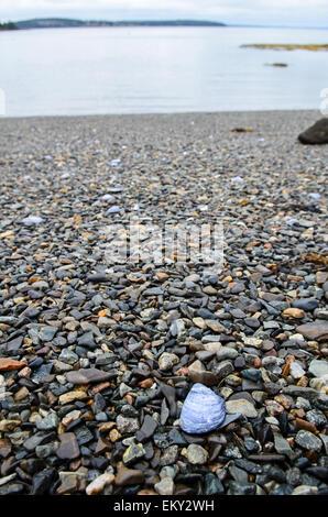 A Blue Mussel shell lies on a rocky beach, Mount Desert Island, Maine. - Stock Photo