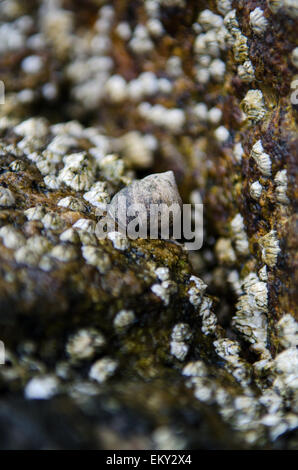 Close-up of Common Periwinkle and Northern Rock Barnacles on a granite pier, Maine. - Stock Photo