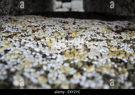 Close-up view of Common Periwinkle and Northern Rock Barnacles on a granite pier, Maine. - Stock Photo