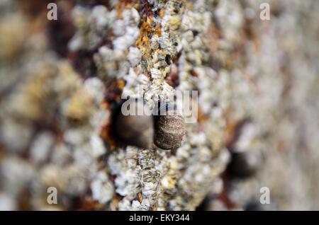 Close-up view of Common Periwinkle (Littorina littorea) and Northern Rock Barnacles (Semibalanus balanoides), Maine. - Stock Photo