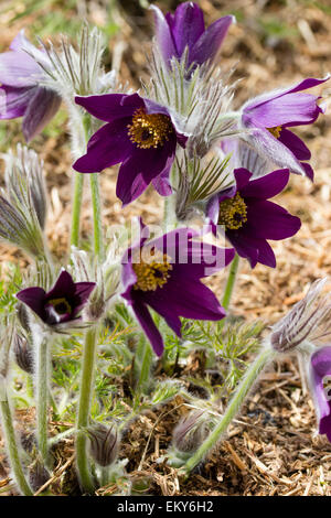 Dark purple form of a European Pasque flower, Pulsatilla halleri - Stock Photo