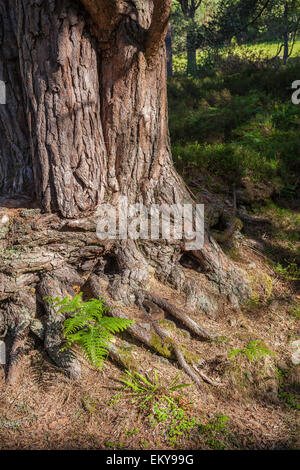 Scots Pine Trunk in Scotland. - Stock Photo