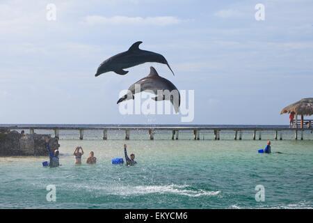 Roatan, Bay Islands, Honduras; Bottlenose Dolphins (Tursiops Truncatus) Jumping In The Caribbean Sea - Stock Photo