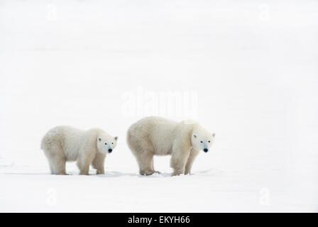 Polar Bear (Ursus Maritimus) Sow And Yearling Cub Walking Across The Frozen Tundra; Churchill, Manitoba, Canada - Stock Photo