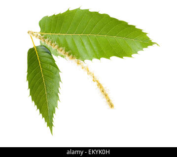 Chestnut leaves and catkins isolated on white - Stock Photo