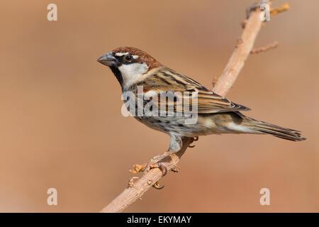 Spanish Sparrow, Santiago, Cape Verde (Passer hispaniolensis) - Stock Photo