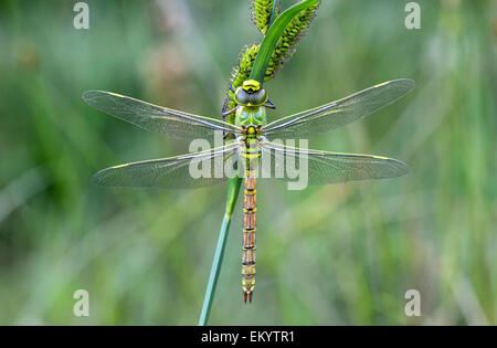 Newly hatched Emperor dragonfly (Anax imperator), female, Switzerland - Stock Photo