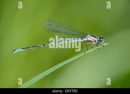 Azure Damselfly (Coenagrion puella), male, with red dots under the thorax, infested with water mites (Arrenurus), - Stock Photo