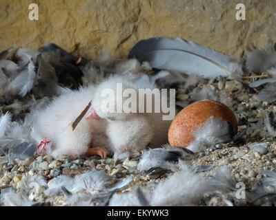 Peregrine Falcon (Falco peregrinus) chicks, a few days old, chicks sharing body warmth, City Church Esslingen - Stock Photo