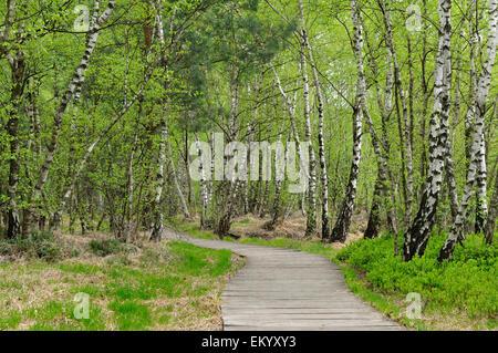 Boardwalk through the birch forest in the Venner Moor Nature Reserve, North Rhine-Westphalia, Deuschland - Stock Photo