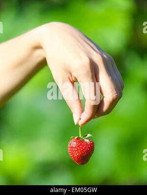 hand holding strawberries - Stock Photo