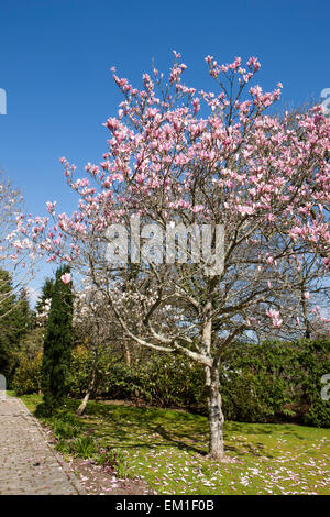 Large pink flowers of Magnolia tree at Pinetum Park St Austell  Cornwall on a Spring Day. - Stock Photo