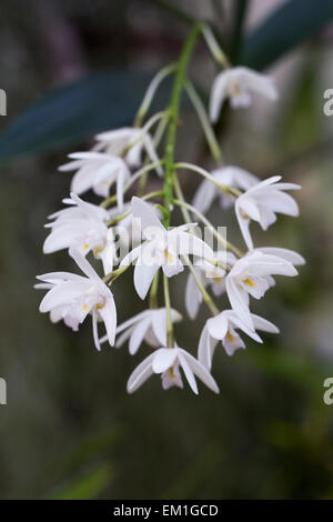 Dendrobium kingianum flowers, growing in a protected environment. - Stock Photo