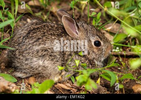 Baby bunny rabbit in grass - Stock Photo