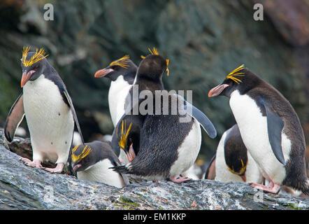 Group of Macaroni Penguins Cooper Bay South Georgia - Stock Photo