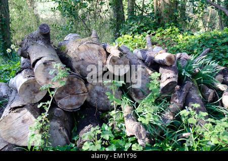 Log pile in Dorset woodland - Stock Photo