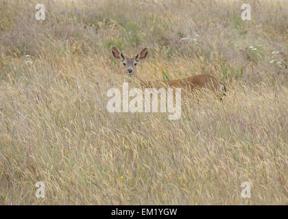 A young Black-tailed deer buck in a meadow at the Cabrillo Light Station, State Historic Park, California's Pacific North Coast.