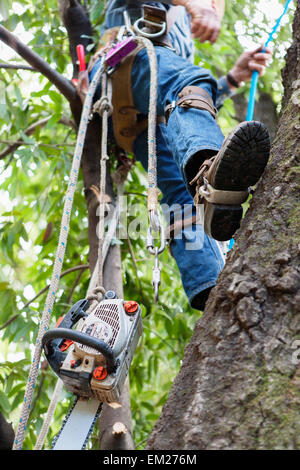 a tree trimmer climbing a tree. - Stock Photo