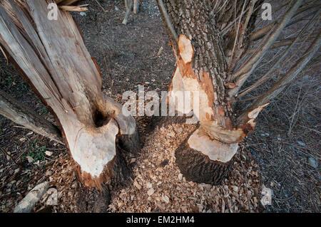 Tree trunks gnawed by beavers (Castor fiber), Innufer, Tyrol, Austria - Stock Photo