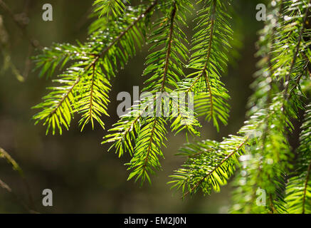 Spruce tree branches (Picea abies), Bavaria, Germany - Stock Photo
