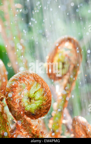 Young curled fern in rain and backlight - Stock Photo