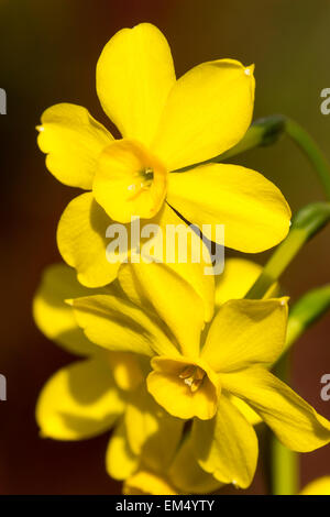 Scented miniature daffodils of the spring flowering jonquil, Narcissus jonquilla 'Baby Moon' - Stock Photo