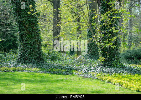 Budding old horse chestnut trees ivy covered in the spring sunlight - Stock Photo