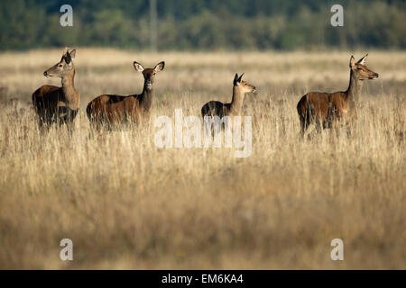 Watchful Red Deer. - Stock Photo