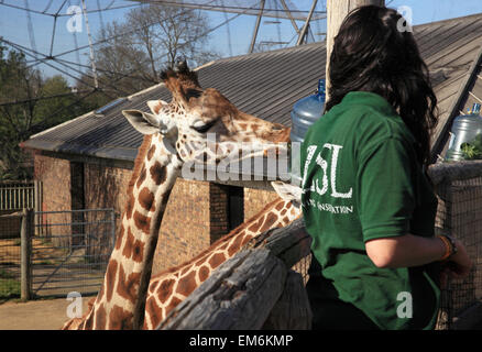 The popular Giraffe High Tea, at London Zoo, in Regents Park, England, UK - Stock Photo