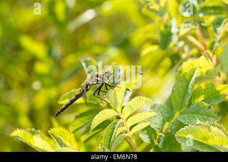 Female black meadowhawk dragonfly, Sympetrum danae, perched on folage in the early morning sunshine, Wagner Bog - Stock Photo