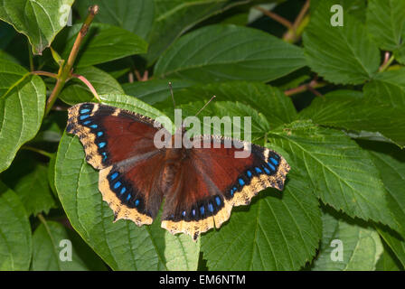 Mourning cloak butterfly, Nymphalis antiopa, perched on summer foliage, Wagner Bog Natural Area, Alberta - Stock Photo