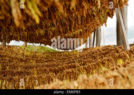 Hanging drying tobacco leaves in Macedonia. - Stock Photo